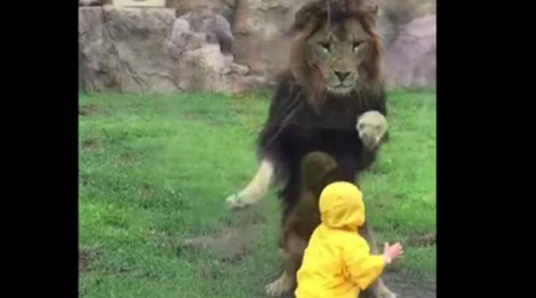 lion pounces on boy, lion attacks boy, lion attacks boy in zoo, lion slams into glass, viral videos
