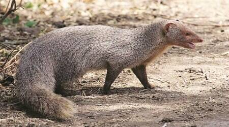 UT plans mascot for Yoga Day, zeroes in on mongoose
