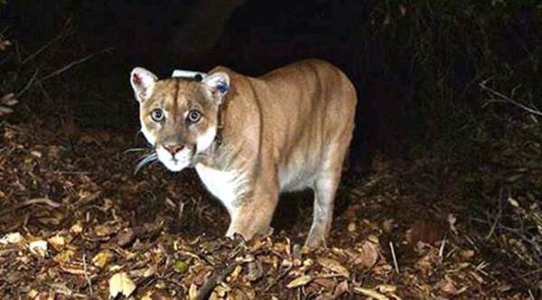 mountain lion, mother fights lion, Colorado woman saved her 5-year-old son, Colorado woman 5 year old son mountain lion, , mother, mountain lion mother, mother mountain lion, Denver,  five year old moth, 5 year old mother, 5 yr old mother, moutain lion 5 yr kid, america mother mountain lion, latest news, latest world news