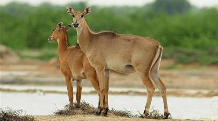 Hunters kill blue bull in Kutch; forest officials order probe