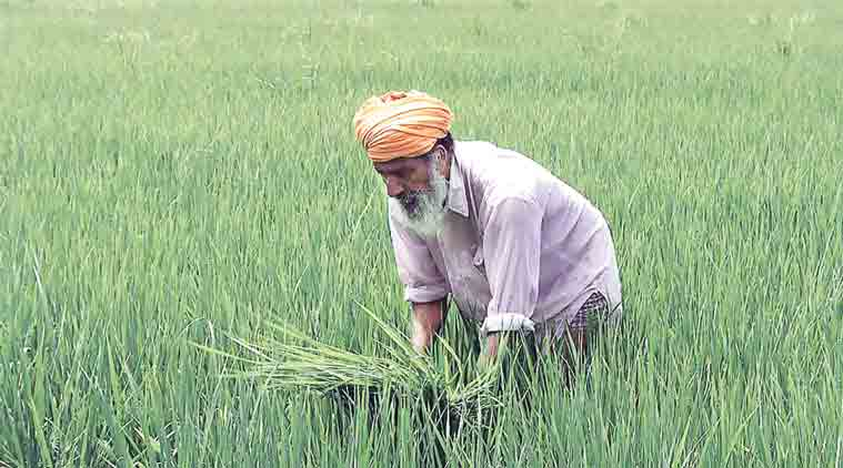 paddy, farmer, paddy farmer, india news, latest news, news, agriculture, indian economy, haryana paddy, national news, haryana news