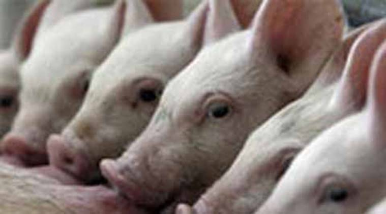 mizoram swine flu, pigs death, pig flu, myanmar swine flu, swine flu fever, indian express news, india news