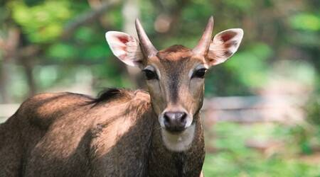 Medium close-up of Nilgai was taken in the area with short bushes and scattered trees. The Nilgai is the largest antelope of Asia and endemic to the Indian subcontinent.