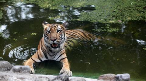 tiger, tigers india, tiger conservation india, royal bengal tiger, endangered tigers, endangered species, environment minister anil madhav dave, anil madhav dave, cabinet reshuffle, modi cabinet reshuffle, india news