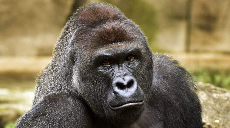World largest Gorillas, Democratic Republic of Congo, Gorilla beringei, International Union for Conservation of Nature, Endangered Wildlife species, African Wildlife, Wildlife nws, latest news, International news, world news
