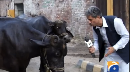 This Pakistani journalist interviewed a buffalo and even got an answer