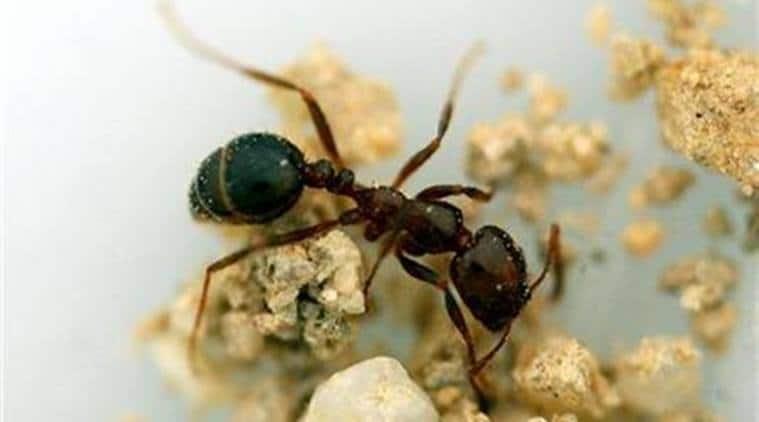 ants, south american ants, ants farming, man farming, science news, technology news, tech news