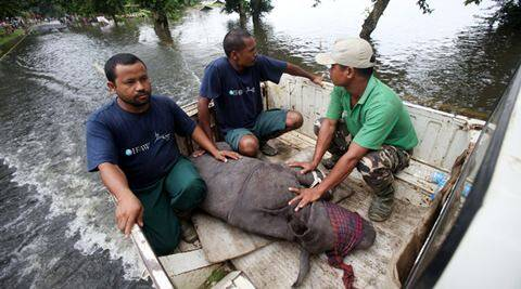 An infant rhino calf struggling in the flood water was rescued from Sildubi area of Bagori forest range of Kaziranga by IFAW-WTI wildlife rescuers and Kaziranga forest staff with the help of local villagers and on Wednesday,27th July 2016. Photo: Subhamoy Bhattacharjee/IFAW-WTI