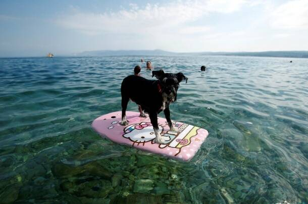 A dog is seen on a swimming board at dog beach and bar in Crikvenica