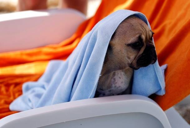 A dog is seen covered with a towel at dog beach and bar in Crikvenica