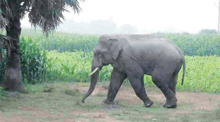 odisha, elephants, odisha elephants, baitarni river, odisha elephants trapped