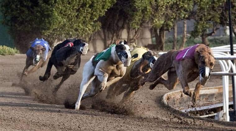 Greyhound, Greyhound racing, Greyhound racing ban, New South Wales, Greyhound racing ban australia, world news