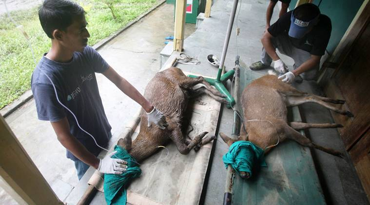 Two hog deer, rescued after being washed away by floods, undergoing treatment at the Centre for Wildlife Rehabilitation & Conservation (CWRC) in Kaziranga National Park on Tuesday. (Source: Subhamoy Bhattacharjee/CWRC-IFAW)
