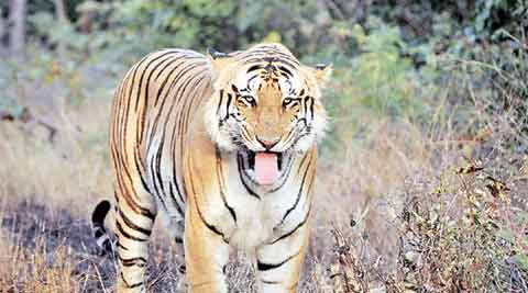 tiger, tiger population in india, Tiger missing, Umred Karhandla Wildlife Sanctuary, jai Tiger, New Nagzira Navegaon Tiger Reserve wildlife sanctuary, tigers in india, project tiger, tiger conservation in india, india tiger population, india news