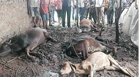 cattle death, vadodara, gujarat cattle death, cow death, gujarat cow deaths, vadodara cow death, cattle grazing, gujarat news