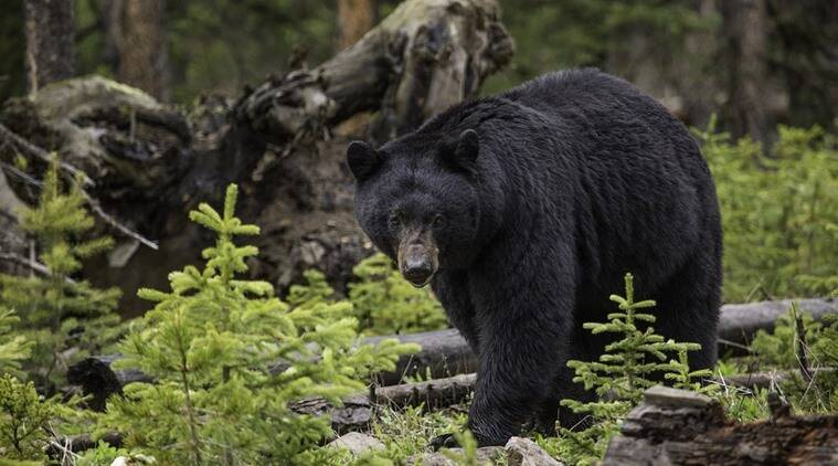 bear steals honey , animal food theft, animal caught on camera, China's Yunnan Province, robbed apiary