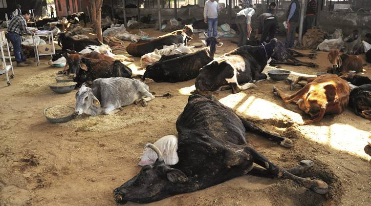 5 bovine smugglers arrested, 57 animals rescued in J-K