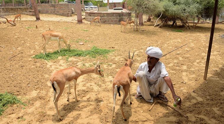 Bishnois, rajasthan, jodhpur Bishnois, rajasthan Bishnois, rajasthan animals, rajasthan deers, jodhpur, jodhpur deers, india news
