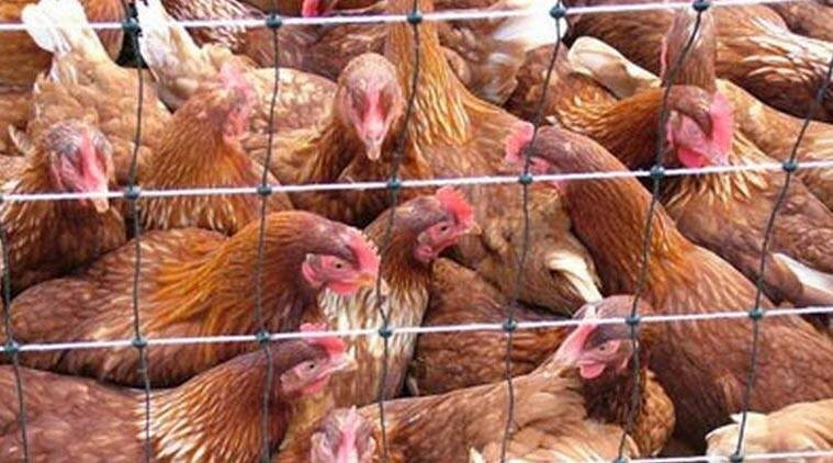 egg alying hens, hens, animal cruelty, poultry, eggs, Maninder Singh, Prevention of Cruelty to Animals Act, news, latest news, India news, national news, battery caging system, caged hen
