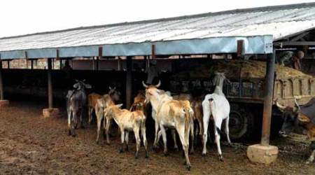 Cattle deaths in Jaipur goshala: Article in RSS journal slams BJP govt