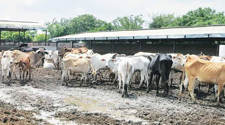 RSS, Vaundhara Raje, jaipur, jaipur cow deaths, jaipur cow shed, rajasthan now deaths, cow deaths, cow deaths rajasthan, vasundhara raje, rajasthan news, india news
