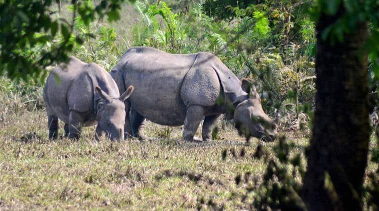 one-horned rhinos, kaziranga rhino, kaziranga one-horned rhinos, rhino poaching, rhino hunting, rhino horn hunting, rhino horn smuggling, china smuggling, rhino horn smuggling china, myanmar rhino smuggling, iucn report, rhino news, indian express news, india news