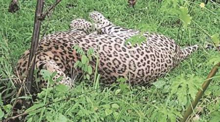 Gujarat: Mutilated carcass of leopard found inTilakwada
