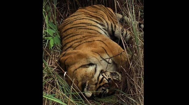 Machli, grand old tigress of Ranthambore, dies