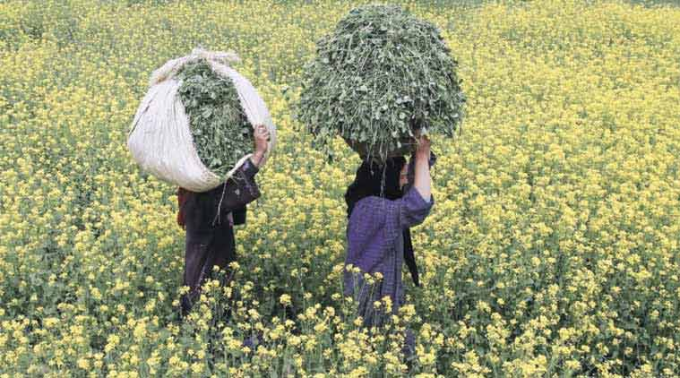 Mustard, GM mustard, Mustard growth in india, Mudtard in foods, herbicide plant, mustard oil, Mustard india, mustard oil in food, Indian express, Express blogs