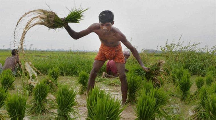 paddy transplant, mechanised paddy transplant, punjab government, punajb agriculture, punjab farmers