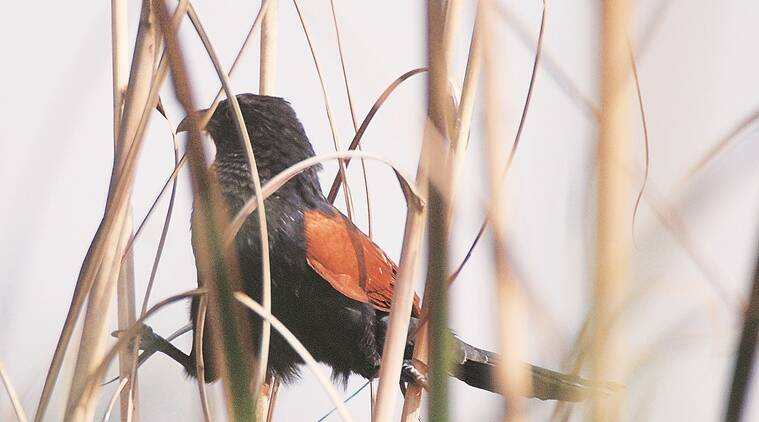 The coucal is partial to groves, large gardens, fields, wooded areas et al and seems to prefer hopping to flying.