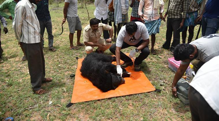sloth bears in india, sloth bear, sloth bear injured, sloth bear rescue, animal rescue in karnataka, karnataka animal rescue, bears in india