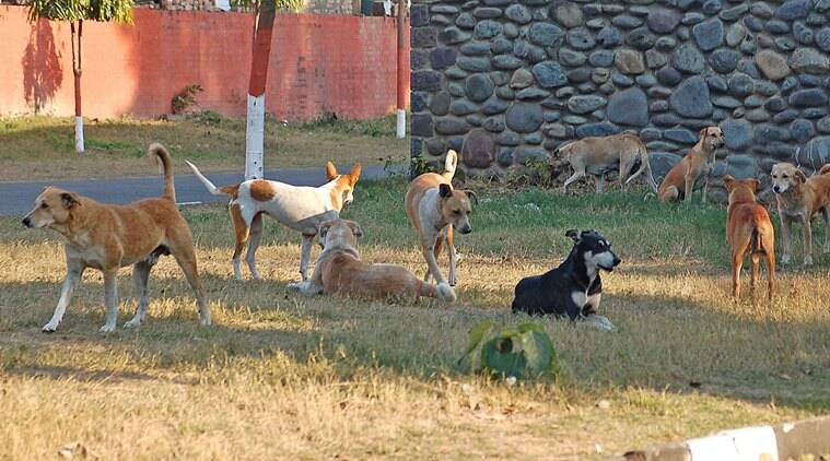 Pune, Pune airport, airports, stray dogs, dog-free zone, Lohegaon, PMC, Pune news, India news, latest news, Indian express