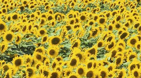 Here's how sunflowers hold key to solar energy