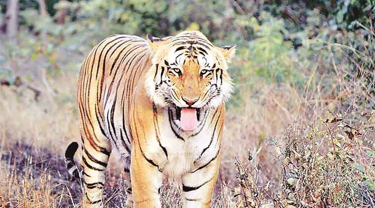 tiger population, tiger population in india, save tiger, save tiger project, tiger poaching, Anil Madhav Dave, tiger in india, india news, indian express,