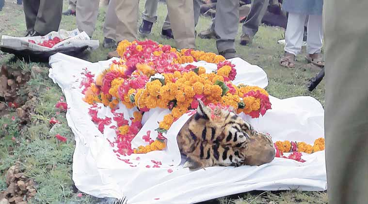 machli, tigress dies, machli tigress, machli tiger, ranthambore tiger dies, ranthambore park tigress, machali, machli dies, tiger dies, tigers in india, machli tigress, ranthambore, ranthambore park, tigress dies, machli tiger dies, machli death, india news