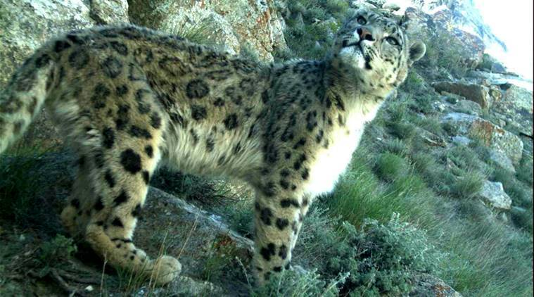 Afghanistan, Snow leapard, Afghanistan leopard, leopards, endangered, Wildlife Conservation Society, wildlife, news latest news, Afghan news, world news, international news