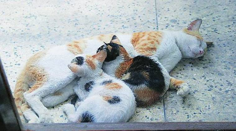 Singapore, Singapore cats, cat welfare singapore, animal cruelty, Agri-Food and Veterinary Authority of Singapore (AVA), world news, indian express news