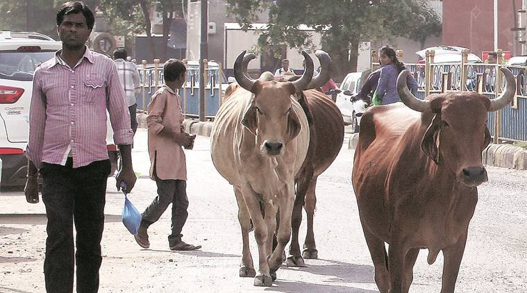 vadodara, vadodara civic body, VMC, street animal menace, srpf, stray cattle, vadodara stray cattle, vadodara street cattle, gujarat street cattle, indian express news, india news, gujarat new, vadodara news