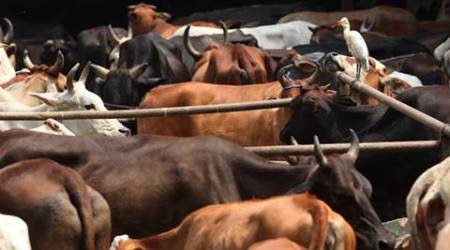 Uttar Pradesh police sends 30 cows rescued from slaughterers to gaushala that does notexist
