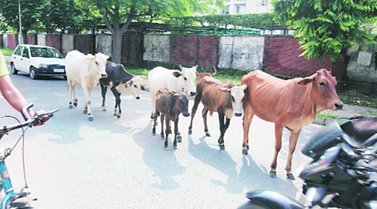 thane, mumbai, illegal cow trade, mumbai gau rakshak, mumbai cow transportation, thane news, mumbai cow news, mumbai news, india news, indian express news