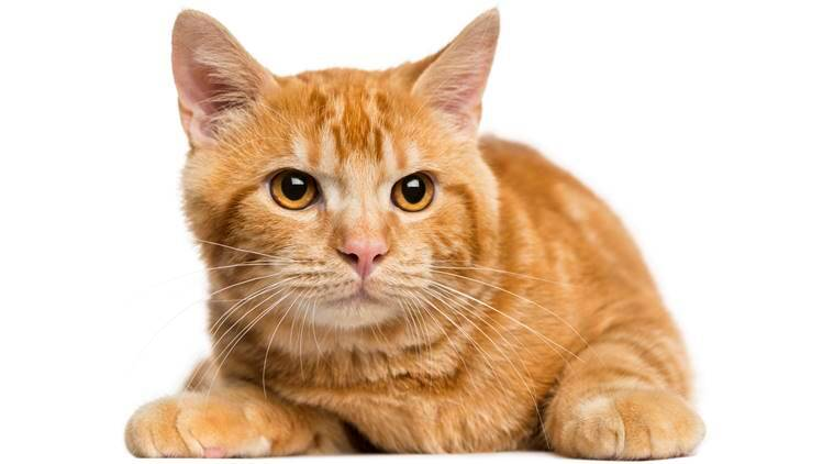 Front view of a Mixed-breed ginger cat looking away, 5 months old, isolated on white