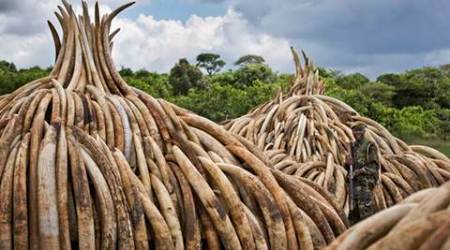 china, ivory trade china, china ivory trade, china ivory, ivory china, china news, world news
