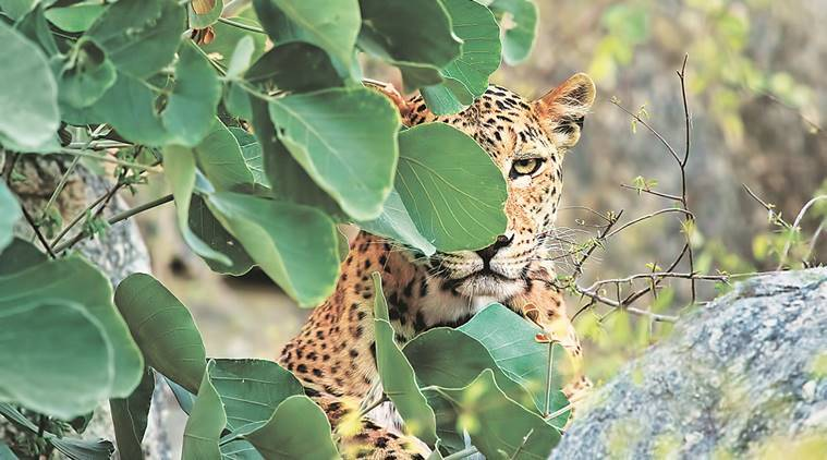 Uttarakhand, leopard, uttarakhand leopard menace, wild animals, human dwellings, human areas, leopards wander, leopards terror, leopards attack, forest department, india nerws, indian express news