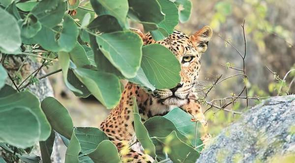 Gujarat, leopard attack, man eating leopard, Gujarat Tourism, Forest Department , indian express news, 8 year old