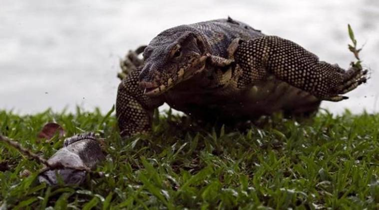 monitor lizards, water monitor lizards, lumpini park, lumpini park monitor lizards, bangkok lumpini park,  world news, indian express,