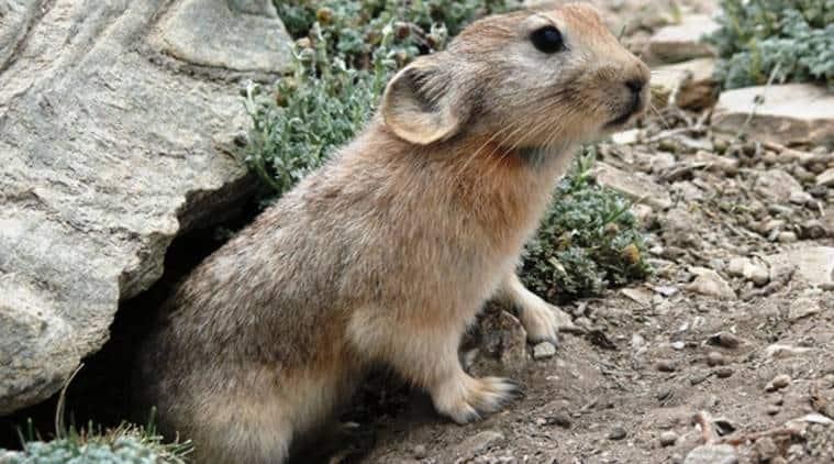 sikkim, sikkim news, sikkim new rabbit species, sikkim new pika species found, pika rabbit sikkim, pika sikkim, sikkim wildlife, india news, indian express