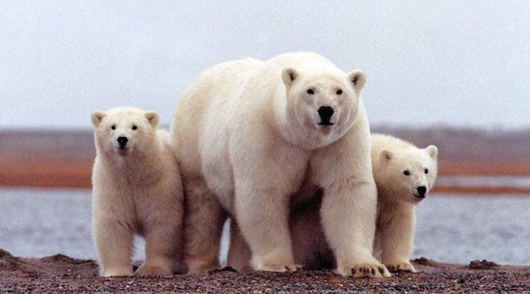 Hide the children. The polar bears have invaded