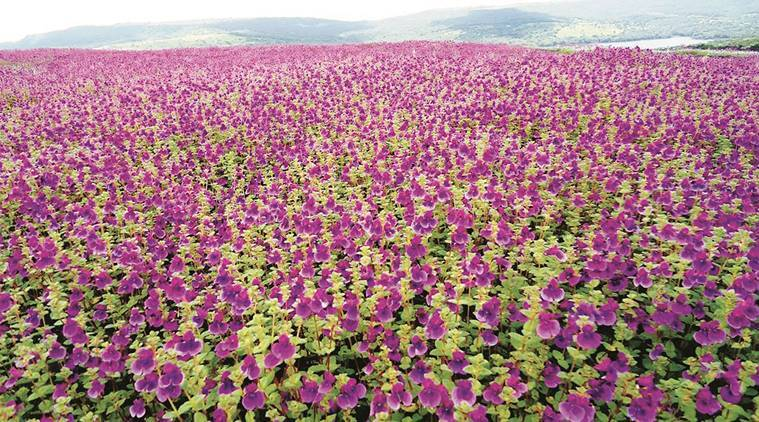 Kaas plateau, Kaas plateau valley of flowers, valley of flowers, Satara valley of flowers, flowers, pune, pune news