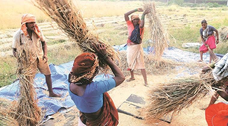 punjab rice cultivation, punjab farmers, punjab agriculture, punjab msp, punjab crops, punjab maize crops, monsoon maize crops